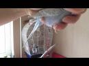 Как обрезать ногти попугаю. Стригу ногти Тоше