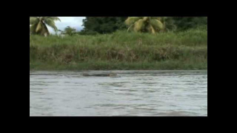 Крокодил против каймана, Caiman vs crocodile