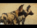 Loving Wild Dogs Hunt Together Animals In Love BBC Earth