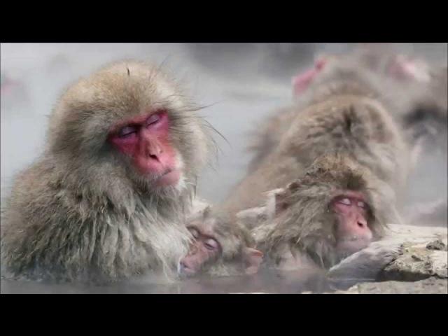 Japanese macaque / Японский макак / Macaca fuscata