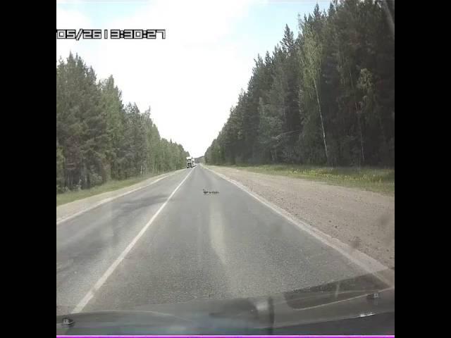 Трасса Червишево - Тюмень. Утка и утята на дороге.