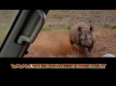 ➫➫➫ Rinoceronte incazzato attacca auto di turisti! ╰☆╮ Rhino angry attacks of tourists cars ♔♕♚♛