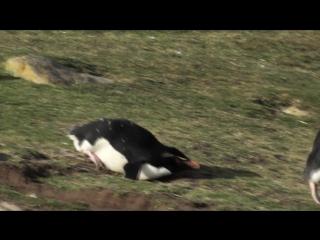 Неуклюжие Пингвинчики