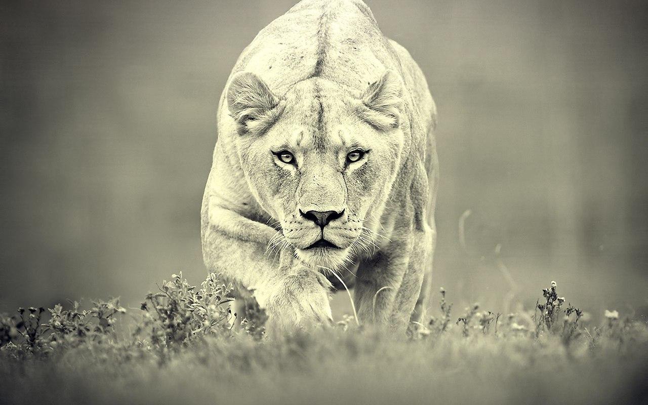 Поздравление с днем рождения львице