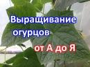 Выращивание огурцов. Как посадить, как ухаживать, как подкармливать