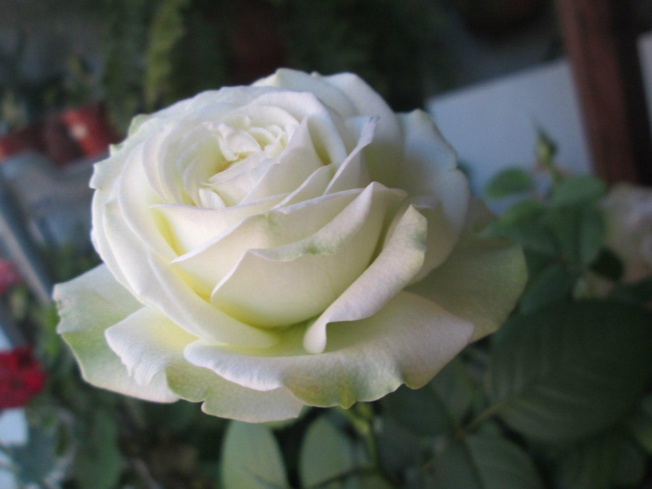 комнатная китайская роза уход в домашних условиях