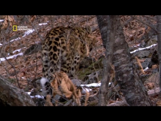 Дикая природа России | Дальневосточный леопард