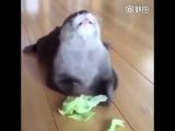 Маленькая выдра ест капусту. Милота.