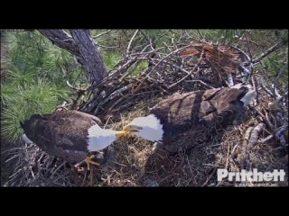 SWFL Eagles ~ A Bite for Me; A Bite for You - M15 Feeds Harriet Fish 1.3.17