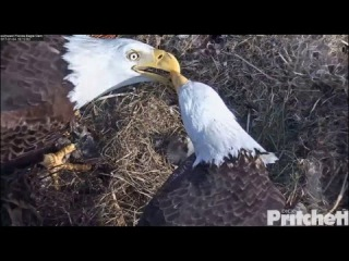 SWFL Eagles ~ Armored Catfish; M15 Helps Harriet Feed E9 1.4.17