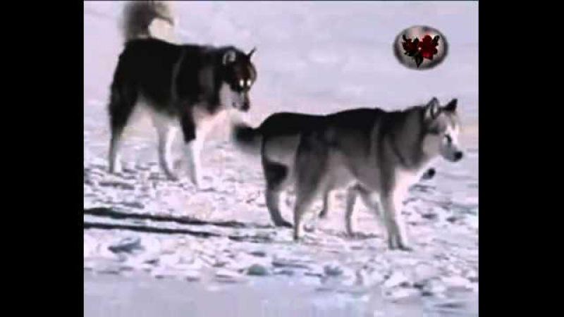 андрей никольский волчица