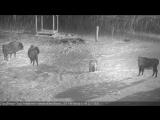 Зубры отразили нападение волков в Беловежской пуще.