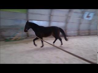 Продажа лошади! Жеребец Сармат. Украина, Тернополь