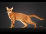Abyssinian Cat - An Informational Video