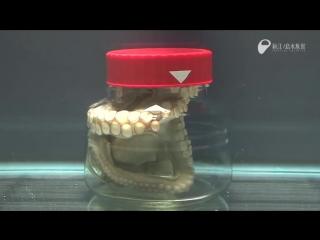 Экспериментатор. Сможет осьминог вылезти из закрытой банки?