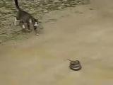 Кот убил змею