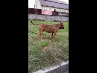 Аланская собака