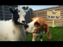 Cute Baby Goat Has Playdate With Crazy Dogs