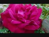 Le pouvoir des fleurs Laurent Voulzy (plus paroles)