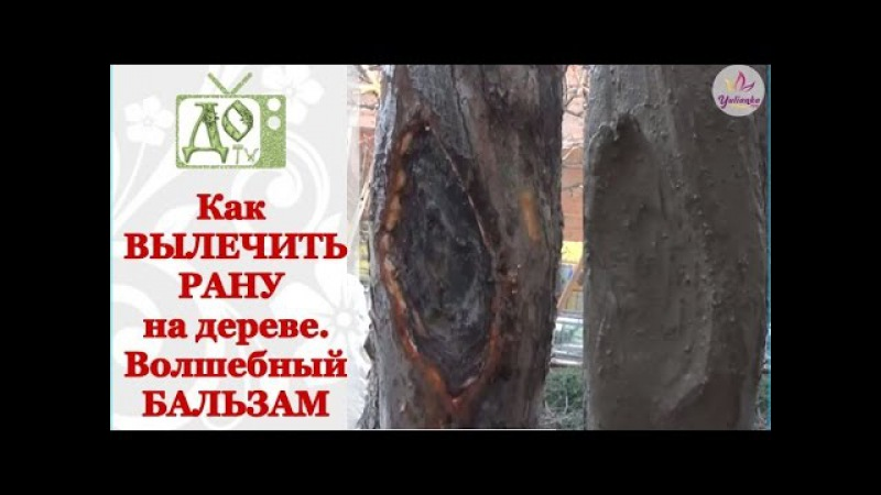 Как вылечить РАНУ на плодовом дереве. Рецепт целебного бальзама для дерева
