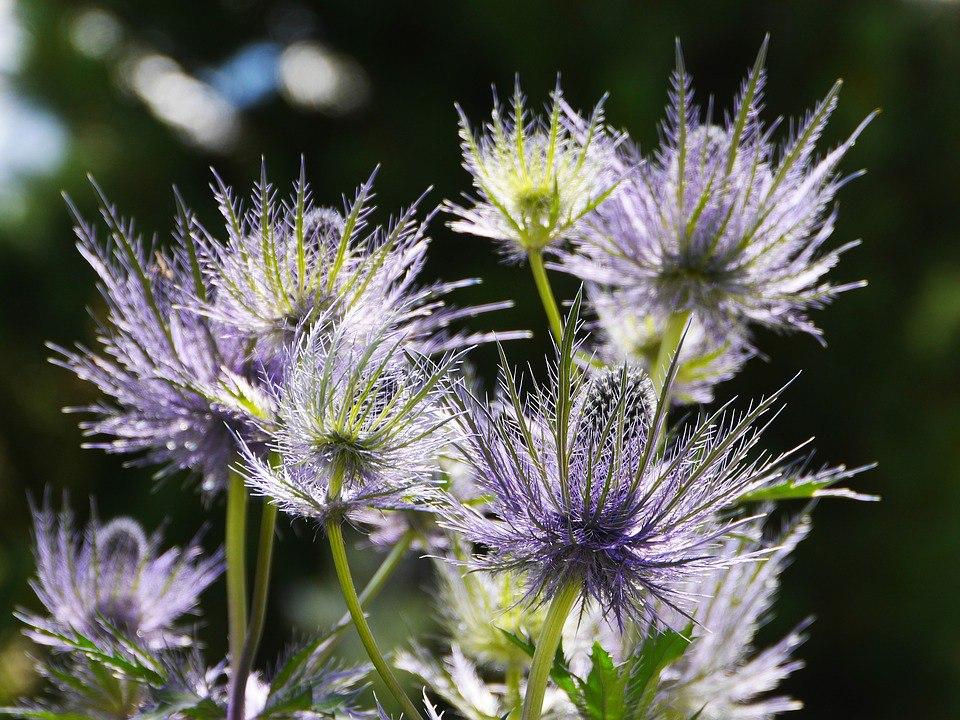 Неприхотливые многолетние цветы для дачи. Часть 2-Синеголовник плосколистный