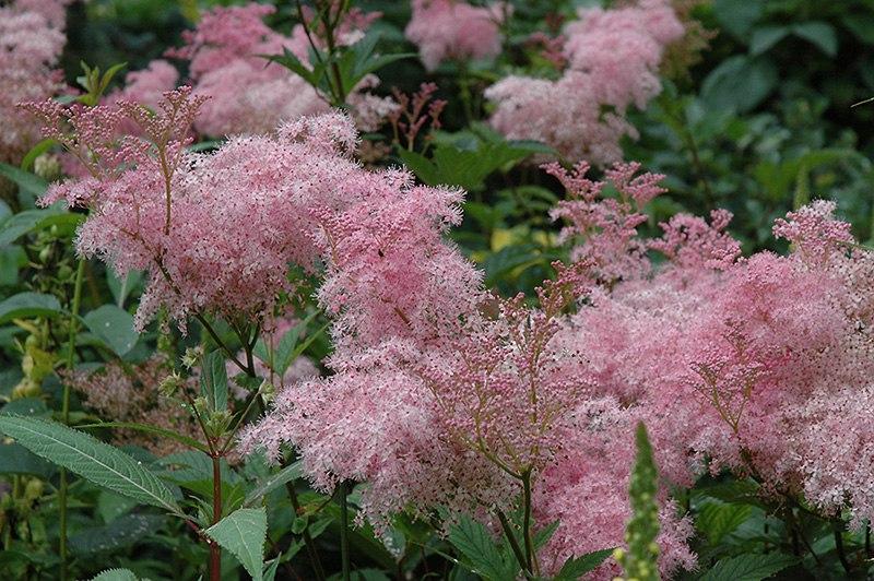 Неприхотливые многолетние цветы для дачи. Часть 2-Лабазник