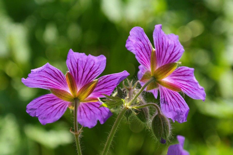 Неприхотливые многолетние цветы для дачи. Часть 2-Герань