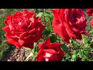 Розы. Красивые Цветы. Розы Видео. Самые Красивые Цветы. Футажи для видеомонтажа