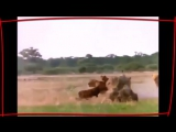 НАШИД - ЛЬВЫ ТАУХИДА Best Nasheed - LIONS Tauhid