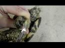 Стрижка клюва сухопутной черепахи ч.2