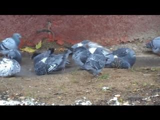 2016-10-27 видео Богородское Бульварные голуби