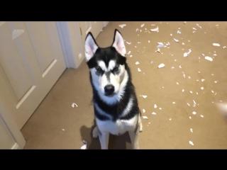 Хозяин двух хаски пришел домой, а увидев открывшуюся ему картину, начал отчитывать собак