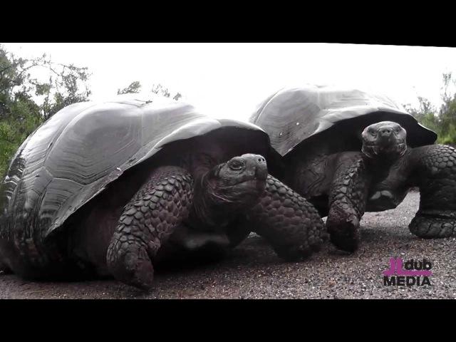 Galapagos - Isla Isabela - Urbina Bay - Tortoises on 2/25/2014