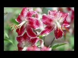 дарите женщинам цветы музыка олега Сапегина,слова Елена Богатова