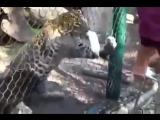 Сказ о том как идиот пантер кормил и чуть пальца не лишился - Panther grabbed the guys finger