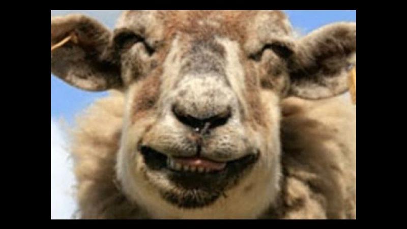 [МНН: 27.05] Овцы-наркоманы устроили дебош в британской деревне