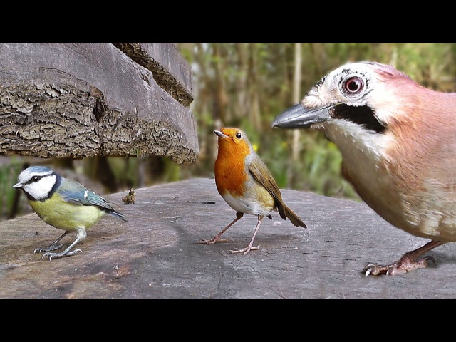 Movie For Cats - Little Birds in The Forest Garden