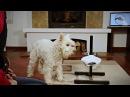 Как научить собаку вытирать морду после питья? (часть вторая)