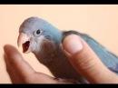 Приручение попугая Высший пилотаж FULL ENG SUB