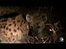 Мир Приключений Циветта Леопард Гиены Южная Луангва Замбия Viverra Leopa