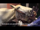 Minimally Invasive Trans Buccal Cheek Tooth Extraction In the Horse