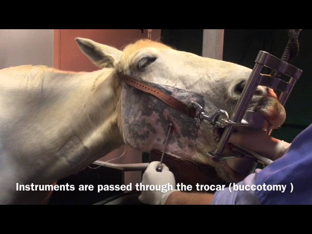 Minimally Invasive Trans Buccal Cheek Tooth Extraction In the Horse » Freewka.com - Смотреть онлайн в хорощем качестве