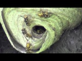 Yellowjacket Nest May 19, 2014