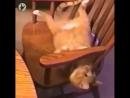 Кот повторил Swanton Bomb