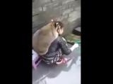 Хорошо откормленный енот