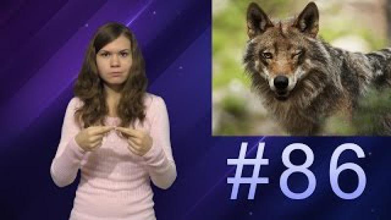 Рассудительные волки