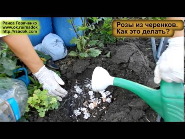 Розы из черенков Как это делать