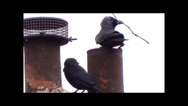 Глупая галка (Lesser Smart Jackdaw Stoepit Kauw (Corvus Monedula Stupidica)