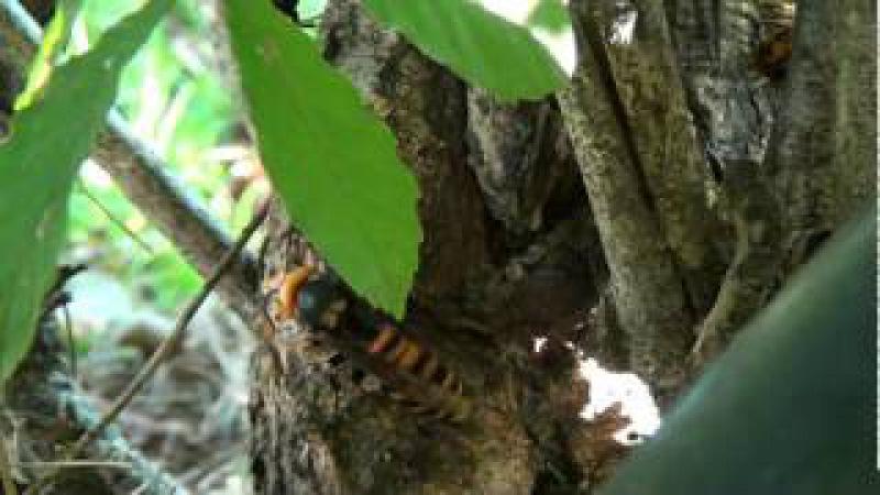 樹液に集まるオオスズメバチとカナブン時々ハエとアリ