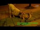 Malakli VS pitbull (питбуль малакли собачьи бои)
